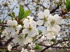 Door County Cherry Blossoms Door County Wisconsin, Sturgeon Bay, Cherry Blossoms, Beautiful Places, Doors, Tattoos, Sweet, Summer, Candy