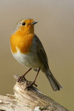 ♔ Beautiful European Robin