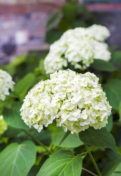 Consider the climbing hydrangea when adding plants to your Southern garden. Smooth Hydrangea, Hydrangea Bloom, Hydrangea Care, Hydrangea Not Blooming, Hydrangeas, White Hydrangea Garden, Big White Flowers, Shrubs With White Flowers, Annabelle Hydrangea