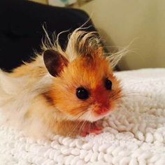 Baby hamster has a bad hair day. Baby hamster is having a bad day. Cute Funny Animals, Cute Baby Animals, Animals And Pets, Easy Animals, Animals Kissing, Hamster Breeds, Funny Hamsters, Dwarf Hamsters, Syrian Hamster