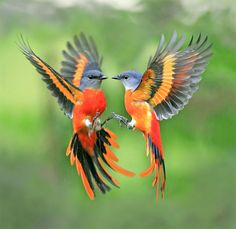 Gray-chinned Minivets, Taiwan