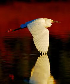 egret red flight 8x10