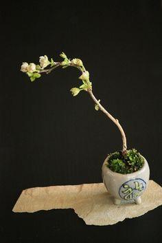 mame bonsai 庭梅豆盆栽