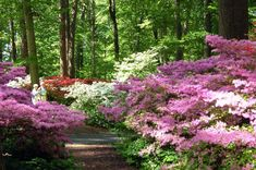 path of azaleas...these will always remind me of my grandma! think i got the gardening gene from her <3
