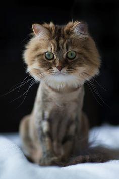Unfortunate Cat Haircut - The Cutest Little Kitten Turns into a Mini-Lion - My Modern Metropolis