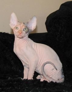 Beautiful Hope! Sphynx kitty cat