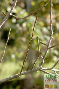 [PODCAST] Identifier les organes des poiriers et pommiers Brindille, Permaculture, Agriculture, Reproduction, Gardening, Gardens, Fruit Garden, Bud, Apple Tree