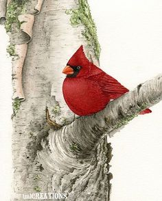Cardinal In Birch Tree → For more, please visit me at: www.facebook.com/jolly.ollie.77