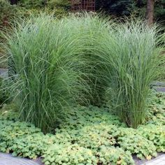 Another grass example but foliage too heavy Ornamental Grasses, Shrubs, Heavy Metal, Garden Landscaping, Planters, Home And Garden, Landscape, Flowers, Garden Ideas