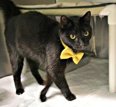 Adopt Lucky, an 8 year old neutered & declawed cat who is very affectionate.