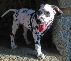 Oliver the Dalmatian......smiley....