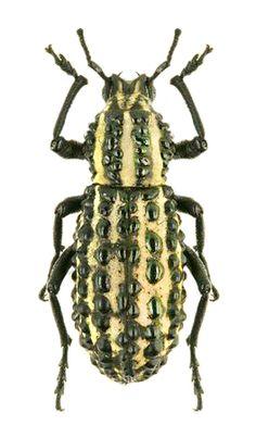 Talaurinus fergusoni