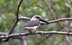 Great-billed kingfisher or Black-billed kingfisher (Pelargopsis melanorhyncha) is endemic to the Sulawesi region of INDONESIA.