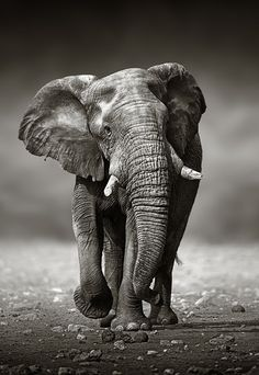 Elephant approach from the front by Johan Swanepoel on 500px