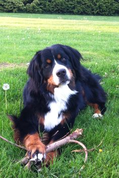 Bernese Mountain Dog Breeder Kentucky - Breed of Dog | Sophie