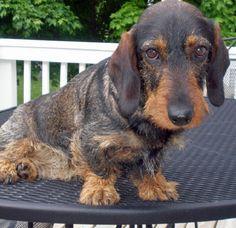 48 Best Standard Dachshund images in 2015 | Dachshund dog, Sausages