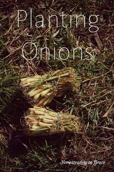 When the sunshine came out, we went out to the garden. Here's how we planted our onions for the year. Growing Onions, Growing Plants, Growing Vegetables, Vegetables Garden, Veggies, Planting Onions, Planting Garlic, Organic Gardening Tips, Vegetable Gardening