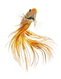 Betta Fish In Action ,isolated On White Background Royalty Free Stock Photo, Pictures, Images And Stock Photography. Beautiful Fish, Beautiful Pictures, Poisson Combatant, Betta Fish Tattoo, Beta Fish, Siamese Fighting Fish, Fish Drawings, Tier Fotos, Exotic Fish