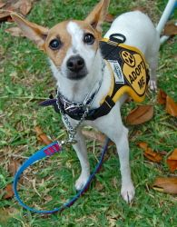 Princess (FOSTER) is an adoptable Toy Fox Terrier Dog in Baton Rouge, LA. Meet Princess. She is currently in foster care. For more info on meeting and adopting her please call her foster mom at 225-33...