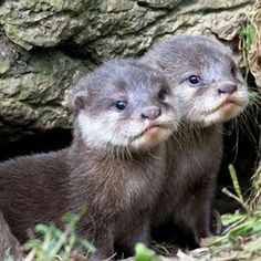 aww how cute are these baby otters! I love otters The Animals, Nature Animals, Cute Baby Animals, My Animal, Funny Animals, Wild Animals, Strange Animals, Funny Cats, Otter Pup