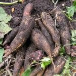8 Staple Root Crops You Can Hide in Plain Sight - Yacon is sweet and refreshing. Root Vegetables, Growing Vegetables, Vegetable Garden, Garden Plants, Survival Prepping, Emergency Preparedness, Survival Project, Doomsday Prepping, Survival Mode