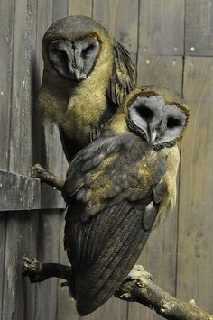Ashy Faced Owls.   (Re-pinned from Pinterest.)