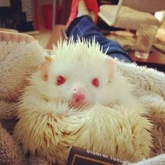 Our little hedgie Penny was so grouchy! My son called her an Alfredo hedgehog, instead of albino ; Zoo Animals, Cute Animals, Animal Fun, Unique Animals, Animal Pics, Albino Hedgehog, Cute Funny Pics, Funny Pictures, Little Critter