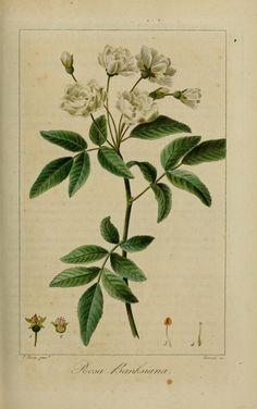 gravures fleurs utiles et agreables 30143 rosier de banks - rosa banksiana