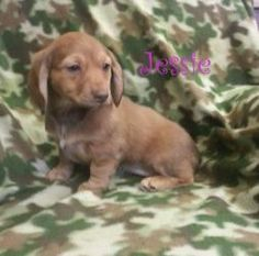 Jessie is an adoptable Dachshund Dog in Houston, MO. JESSIE Doxie Mix Female BABY Hello my name is Jessie, I am 8 weeks old.  Our momma was brought to the shelter as a stray, the shelter allowed her t...