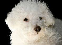 Bichon Frise - Good Things Come in Small Packages!