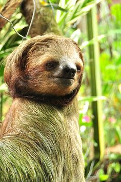 I just got out from a makeover!  Im now the most attractive, radiant and healthy sloth. LOL (Love this picture, this is art)