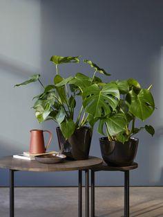 Monstera er trendy, lettstelt og dekorativ. Bonsai, Planters, Flowers, Beautiful, Balcony, Bedroom, Philadelphia, Cactus, Balconies