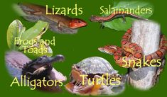 Amphibians and Reptiles of North Carolina - Davidson Herpetology Laboratory . Using this site as a cool information resource about critters in NC (as part of this week's lesson and for a Girl Scout patch).