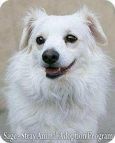 ***6/22/14 STILL LISTED ADOPT-A-PET***Newport, KY - Maltese Mix. Meet Sage, a puppy for adoption. http://www.adoptapet.com/pet/6848373-newport-kentucky-maltese-mix