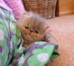 Kittens - BagpussandCo Exotic Shorthair Cats