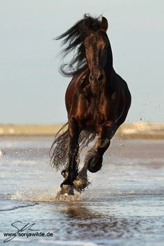 Cantering Dark Bay Friesian on the Beach Shore. Most Beautiful Animals, Beautiful Horses, Beautiful Creatures, Horse Photos, Horse Pictures, Friesian Horse, Horse Galloping, Black Horses, Majestic Horse