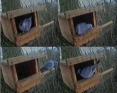 Doves favor shallower nesting areas which can be provided by building cones instead Follow these steps to acquire how to build a mourning dove nest basket. Description from s3-us-west-1.amazonaws.com. I searched for this on bing.com/images