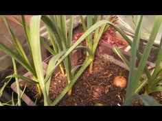 Como enraizar a cebola mais rápido / How to grow an onion faster - YouTube