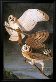 Audubon: Owl Giclee Print by John James Audubon - at AllPosters.com.au
