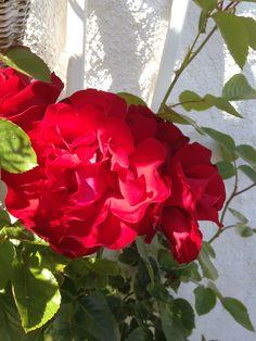 """Rosen """"Santana"""" - My own garden 29.6.14 IJ"""