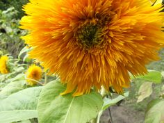 "Tiny ""Giant Sungold"" #sunflower by Angie Ouellette-Tower for godsgrowinggarden.com"