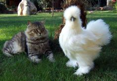 cat and silkie chicken... Love the look on the cat's face!