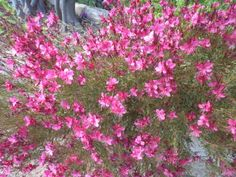 I keep forgetting its botanical name, but ii is such a beautiful flowery bush! __©Peggy Carajopoulou-Vavali