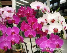 Flower Gardening For Beginners Beginner Tips on How to Grow Phalaenopsis Orchids - A few of the most common questions I hear from readers are: