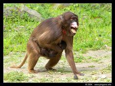 Gelada baviaan ( Theropithecus gelada ) Gelada baboon nzr04_gela001.jpg