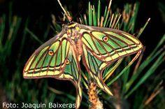Considerada como la mariposa más bella de Europa, esta especie, de gran envergadura, posee alas de tonos verdosos, con nerviaciones oscuras ...