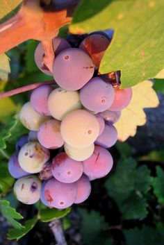 Zinfandel is a red wine grape that originated in Croatia. It is genetically identical to the Italian Primitivo grape.