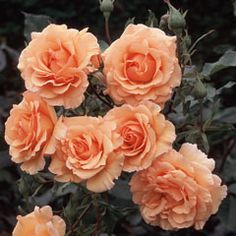 'Anne Harkness' Floribunda  Bred by Harkness  UK 1979. A beautiful floribunda rose with rich apricot petals fading to yellow apricot blends.Mild fragrance.