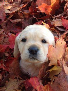 Fall Lab puppy wants a kiss
