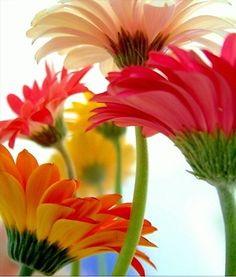 I love flowers :) Gerbera Daisies have such vibrancy though Daisy, Amazing Flowers, Beautiful Flowers, Happy Flowers, Gerber Daisies, Purple Home, Colorful Roses, Bright Flowers, Colorful Garden